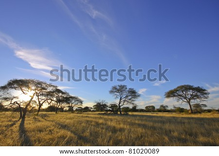 African acacia trees set against blue sky