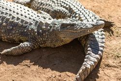 African Aligator Animal in South Africa safari.