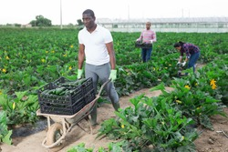 African American farmer pushing handcart with freshly picked green courgettes grown on farm field. Harvest time