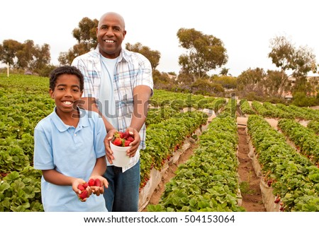 African American man and his son picking strawberries. #504153064