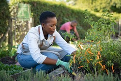 African american woman picking vegetables from garden. Mature woman working in vegetable garden. Black farmer taking care of plants and harvesting fresh vegetables from the greenhouse.