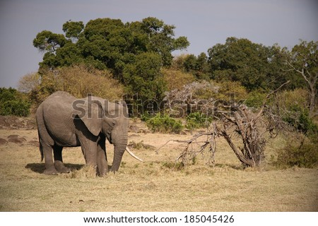 African animal. Elefant