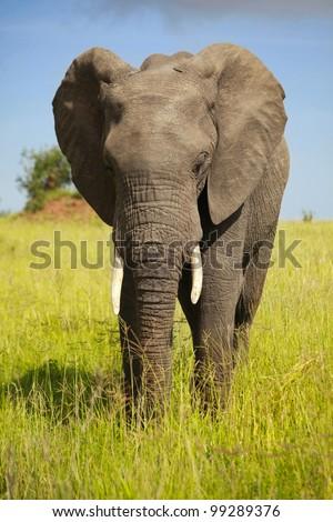 african animals/pensive elephant/