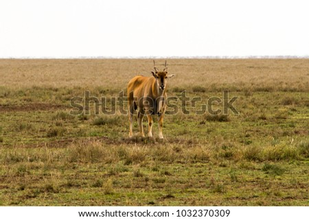 African antelope - the hartebeest (Alcelaphus buselaphus)  #1032370309
