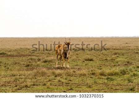 African antelope - the hartebeest (Alcelaphus buselaphus)  #1032370315
