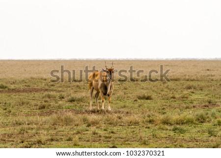 African antelope - the hartebeest (Alcelaphus buselaphus)  #1032370321
