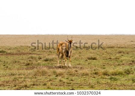 African antelope - the hartebeest (Alcelaphus buselaphus)  #1032370324