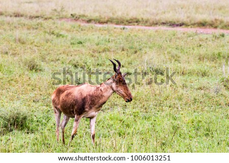 African antelope - the hartebeest (Alcelaphus buselaphus), also known as kongoni in Serengeti National Park, Tanzanian national park in the Serengeti ecosystem in the Mara and Simiyu regions #1006013251