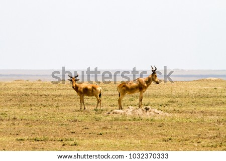 African antelope - the hartebeest (Alcelaphus buselaphus), also known as kongoni in Serengeti National Park, Tanzanian national park in the Serengeti ecosystem in the Mara and Simiyu regions #1032370333