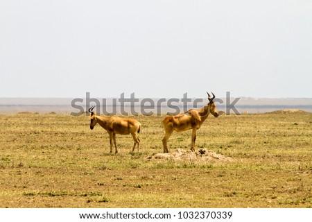 African antelope - the hartebeest (Alcelaphus buselaphus), also known as kongoni in Serengeti National Park  #1032370339