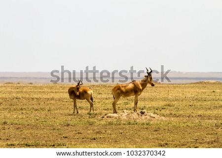 African antelope - the hartebeest (Alcelaphus buselaphus), also known as kongoni in Serengeti National Park  #1032370342