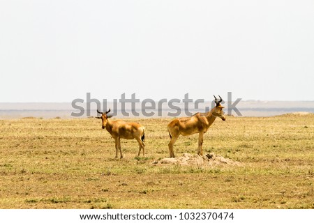 African antelope - the hartebeest (Alcelaphus buselaphus), also known as kongoni in Serengeti National Park, Tanzanian national park in the Serengeti ecosystem in the Mara and Simiyu regions #1032370474