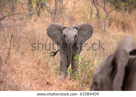 african baby young elephant in Kruger National Park, South Africa