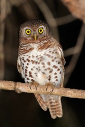 African barred owlet (Glaucidium capense) perched on a branch, South Africa