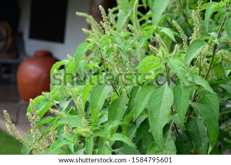 African basi (Tulsi) plant with white flowers, Kerala, India.