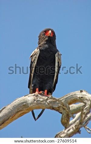 African bateleur eagle - stock photo