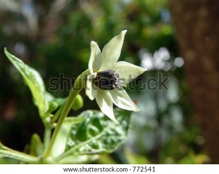 African Bird Pepper Flower