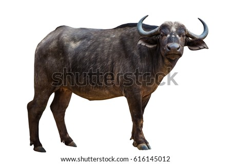 African Black Buffalo front side isolated on white background.