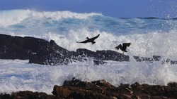 African Black Oystercatchers taking flight to avoid being swept off the rocks by the incoming waves