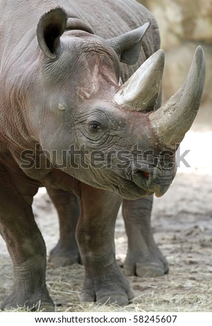 African Black Rhino Profile with two horns
