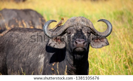 African buffalo animal isolated pictures