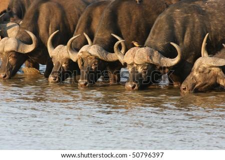 African Buffalo at waterhole.