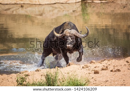 African buffalo attacked by crocodile in Kruger National park, South Africa ; Specie Syncerus caffer family of Bovidae stock photo