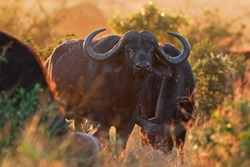 African buffalo, Cape buffalo, Syncerus caffer