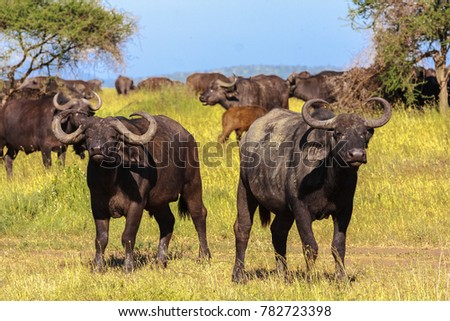 African buffalo close up. Savanna Serengeti, Tanzania