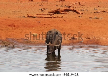 African buffalo drinking from pool in Tsavo East National park