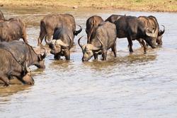 African buffalo herd drinking waterhole