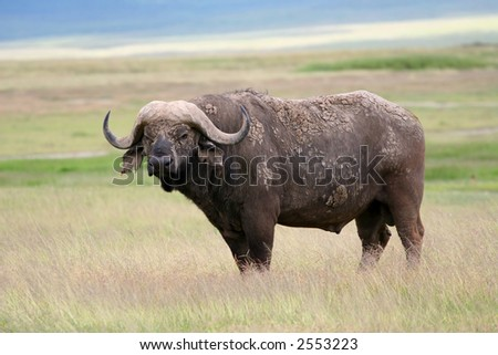 African Buffalo in the Ngorongoro Crater Conservation Area