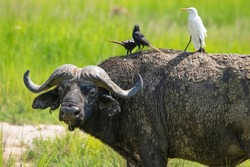 African buffalo in the pasture. Birds sit on its back.Murchison Falls National Park. Uganda, Africa