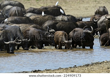 African buffalo in their natural habitat in the African savannah #224909173