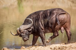 African buffalo in waterhole in Kruger National park, South Africa ; Specie Syncerus caffer family of Bovidae