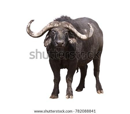 African buffalo isolated on white background