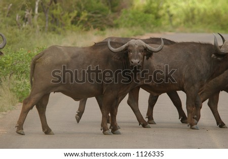 African Buffalo - Kruger National Park, South Africa
