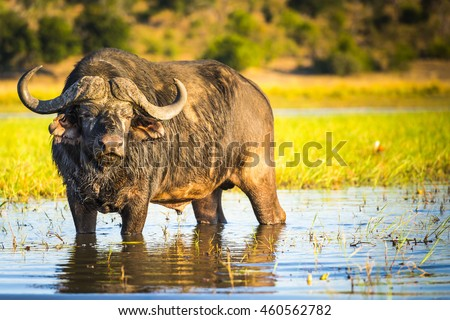 African Buffalo or Cape Buffalo in the wild on the Chobe River, Botswana