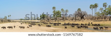 African buffalo or Cape buffalo (Syncerus caffer) in river bed. Tanzania