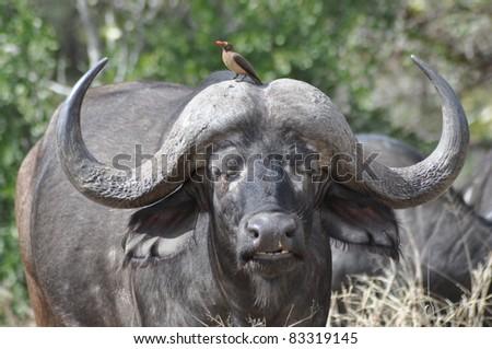 African Buffalo - Syncerus caffer