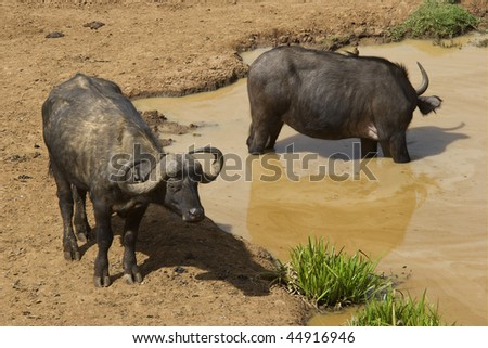 African Buffalo (Syncerus caffer) drinking water from a waterhole