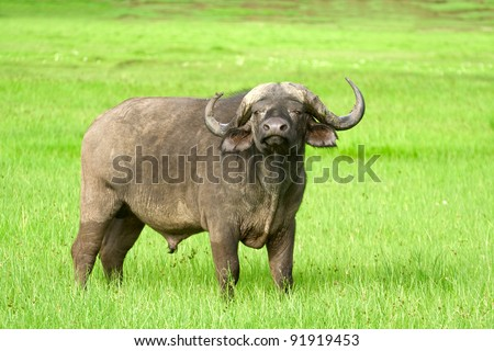 African buffalo (Syncerus caffer) on the grass. The photo was taken in Ngorongoro Crater, Tanzania
