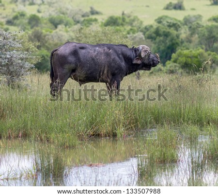 African buffalo with a bird on his back on the Masai Mara National Reserve - Kenya, East Africa