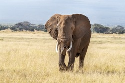 African bull elephant, loxodonta africana, walking through the lush grasslands of Amboseli National Park, Kenya.