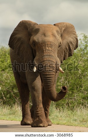 African bull elephant walking down road
