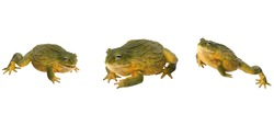 African Bullfrog (Frog) isolated on white background