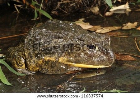 African Burrowing Toad