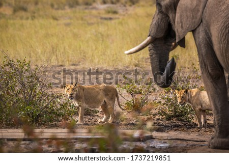 African bush elephant and two lioness at the same waterpond in Kruger National park, South Africa ; Specie Loxodonta africana family of Elephantidae Stock photo ©