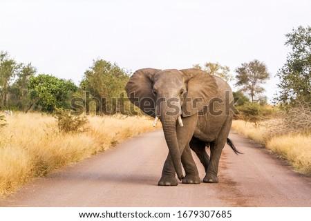 African bush elephant blocking safari gravel road in Kruger National park, South Africa ; Specie Loxodonta africana family of Elephantidae Stock photo ©