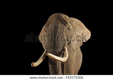 african bush elephant frontal studio shot isolated